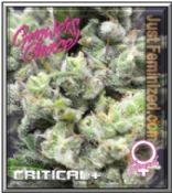 Critical + Seeds - Leafy Cannabis Strain Attitude - Growers Choice